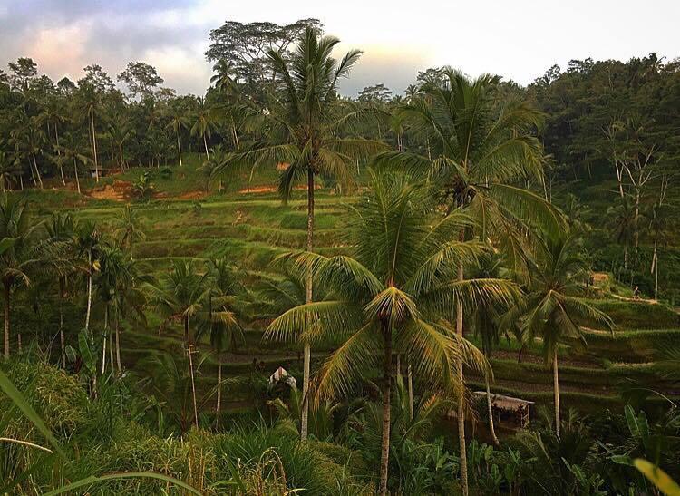 Bali Ubud Campo de arroz