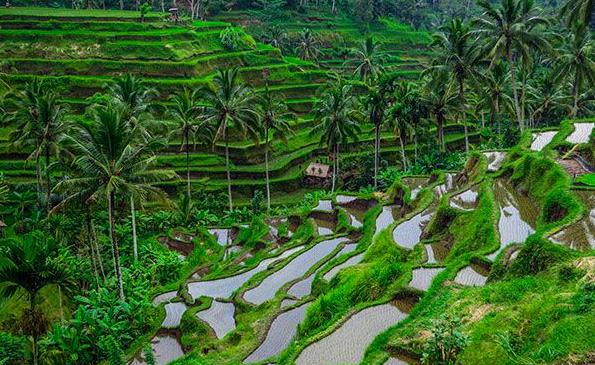 Campo arroz telallagang Ubud Bali