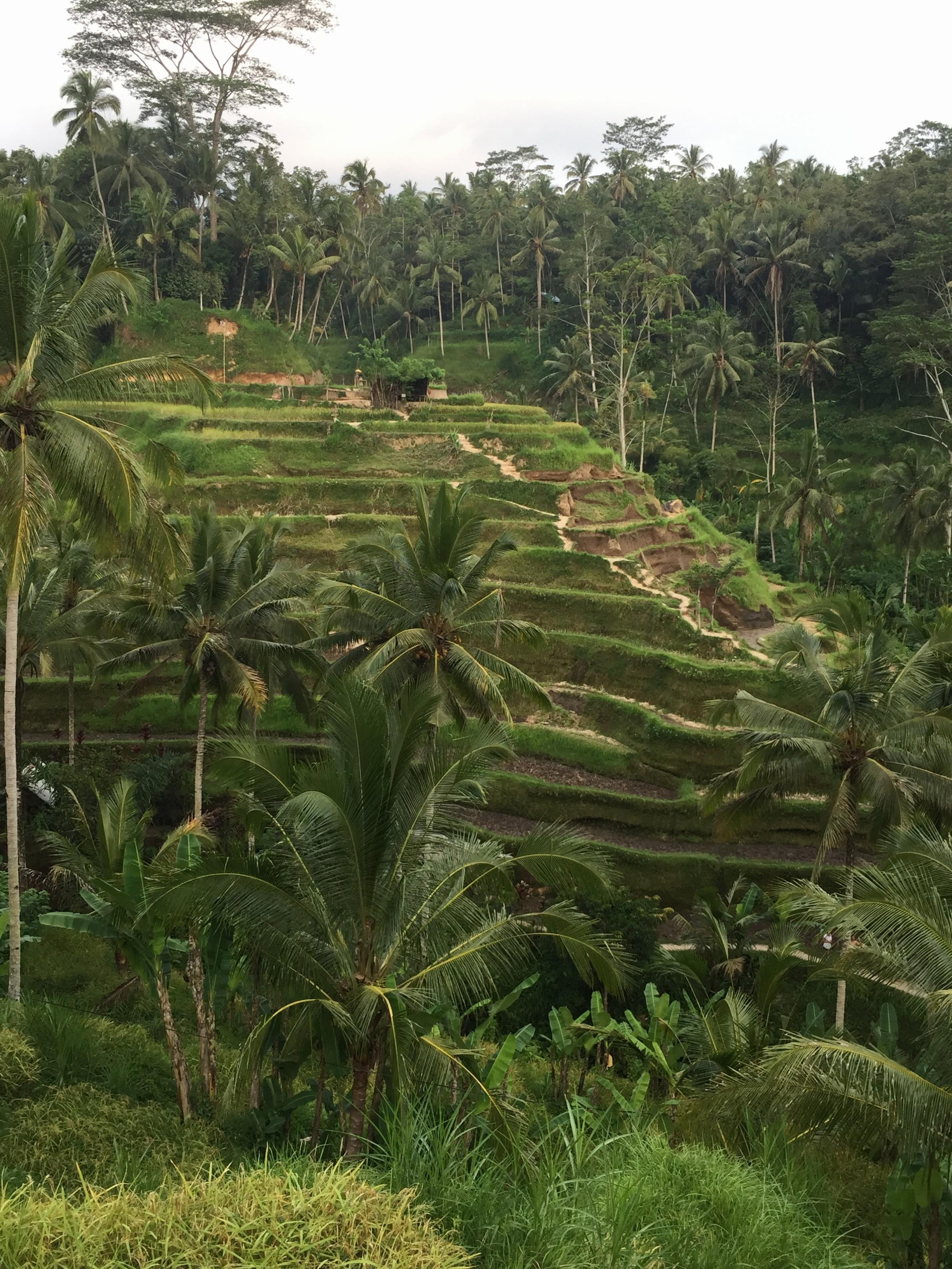 Campo de arroz Bali - Ubud
