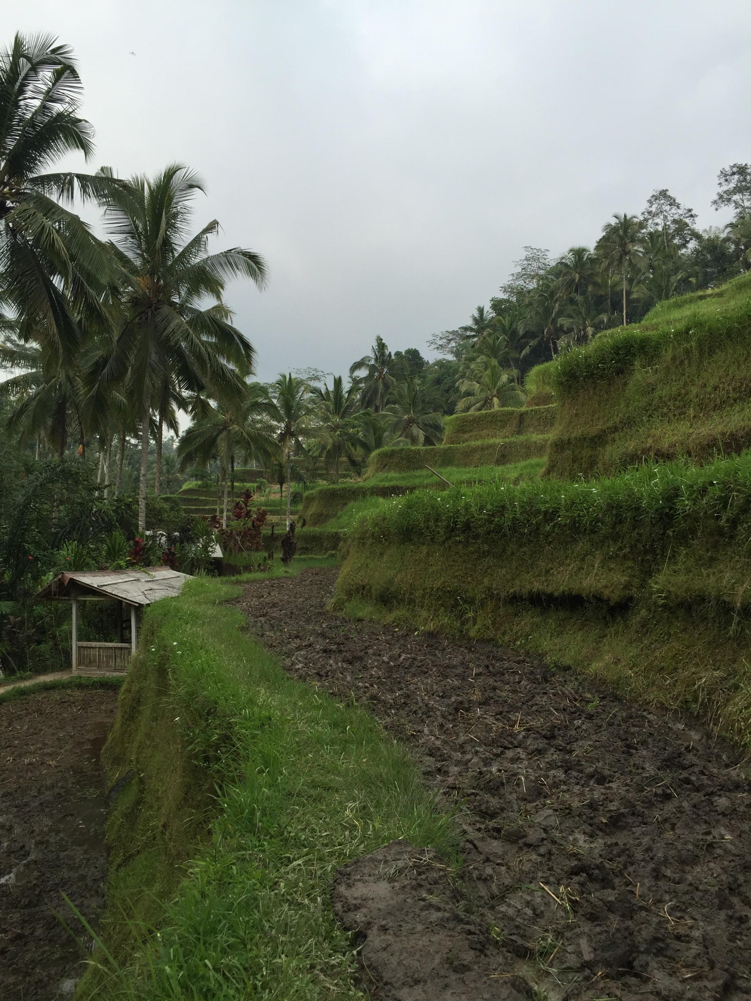 Campo de arroz Ubud Bali