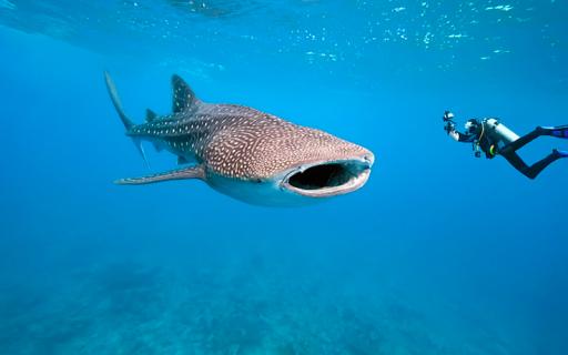 Nadar com os tubarões baleias nas Filipinas