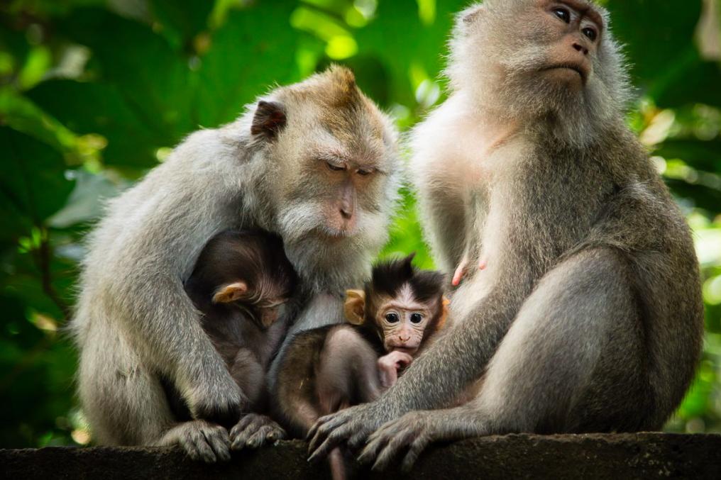 Monkey Florest Ubud Bali