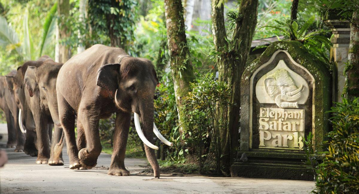 elephant-taro